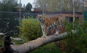 Tiger on tree trunk